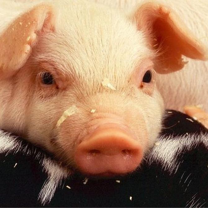 Granjas porcinas: suelos y techos