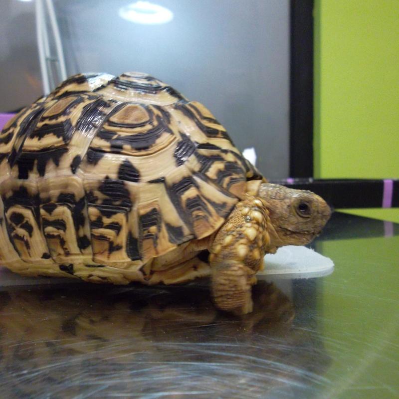 tortuga pardalis tratadada en selvatica clinica veterinaria