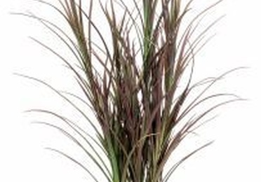 Arbusto tipo junco