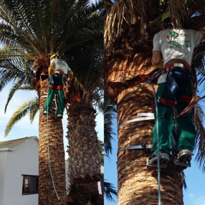 Poda de palmeras y árboles: Servicios de Palmito Palms And Gardens