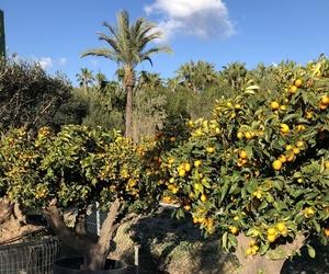 Árboles frutales en Mallorca