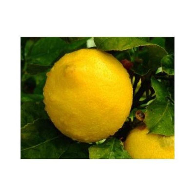 Limones: Productos de Mundifruit