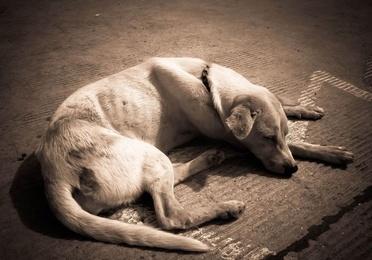 Anemia en perros y gatos