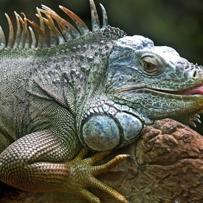 Sobre la alimentación de las iguanas