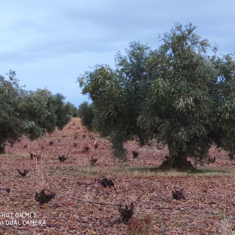 Venta de viña y olivos de regadio Puerto Lapice: Inmuebles Urbanos de ANTONIO ARAGONÉS DÍAZ PAVÓN