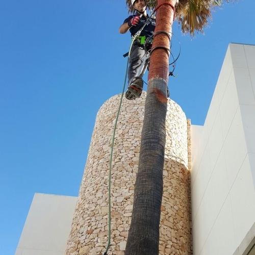 Tala de palmeras en Almería
