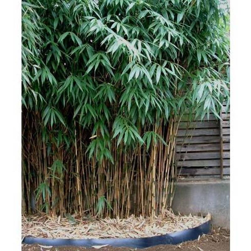 Bambú Sasa japónica ( ÁRBOL )