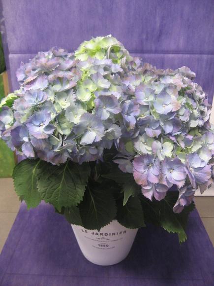 Hortensia Azulada-Morada: Nuestras flores de Bouquet Flores y Plantas
