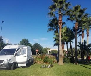 Poda de palmeras en Ibiza.