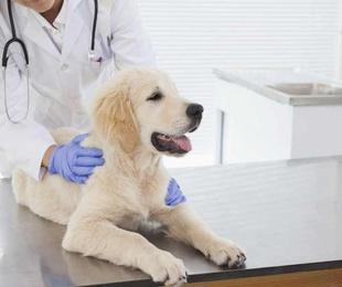 ¿Cuándo debemos vacunar a nuestro perro?
