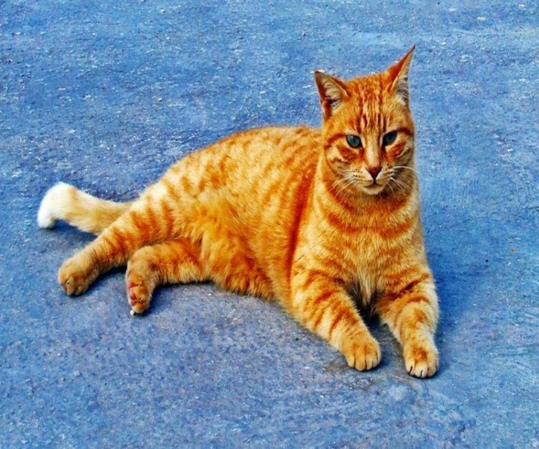 El peligro de contraer la leucemia felina