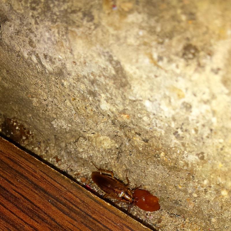 cucaracha germanica