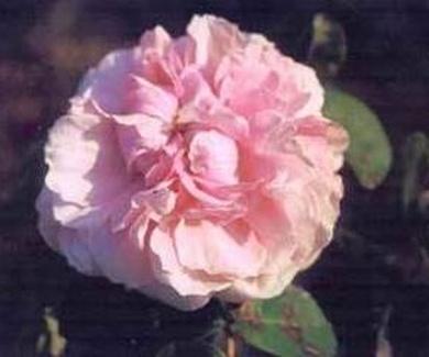 ROSA CENTIFOLIA Ref. 86 ( ARBUSTO )