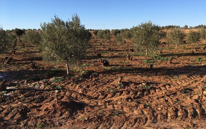 Viña terciada de olivos camino la Padriza: Inmuebles Urbanos de ANTONIO ARAGONÉS DÍAZ PAVÓN
