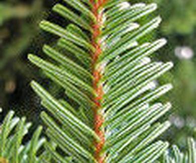 ABETO BLANCO Ref. 8 ( Planta medicinal )