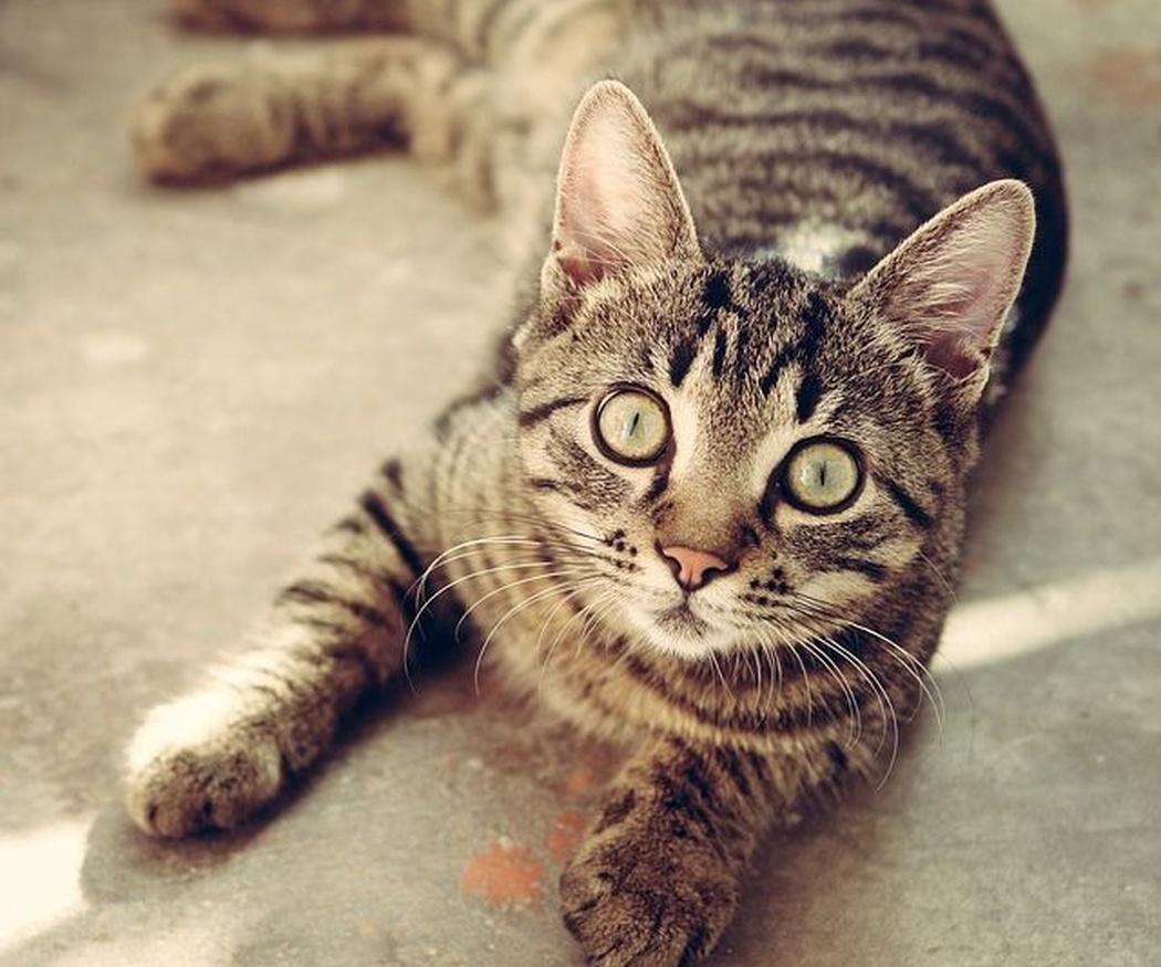 ¿Cuáles son las razas de gatos más bonitos? (II)