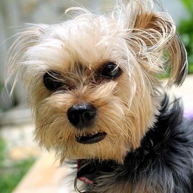Corte de pelo a perros intranquilos