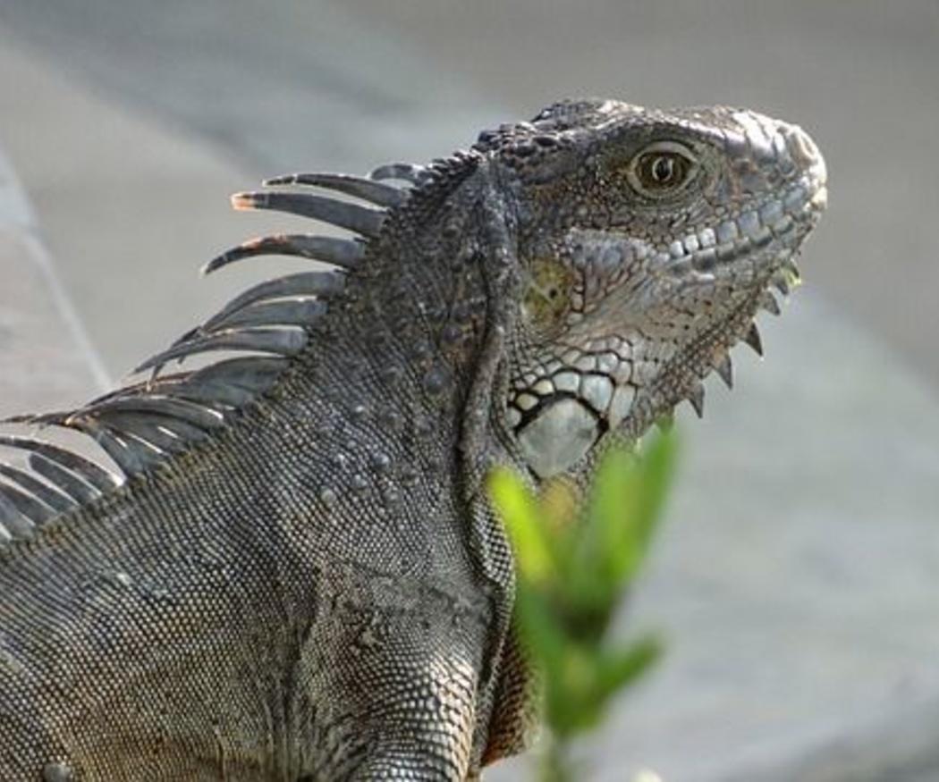 Quiero una iguana de mascota: ¿en qué me tengo que fijar?