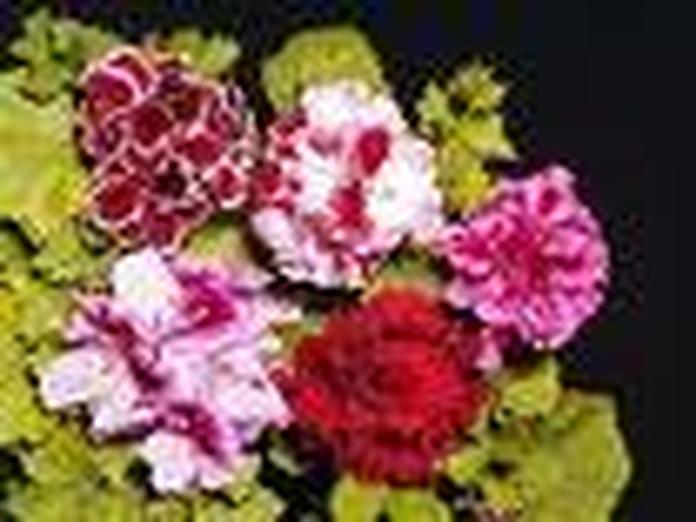 Geranios: Catálogo de De La Hoz Plantas y Flores