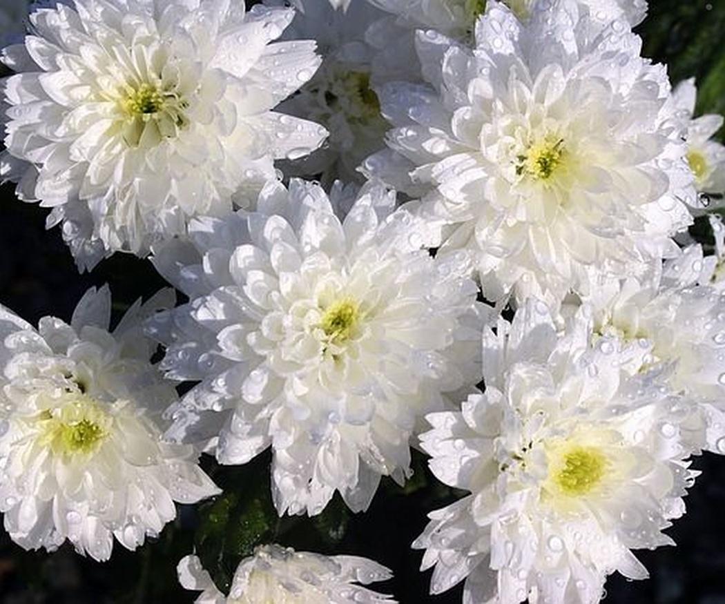 ¿Cuáles son las flores más típicas que se demandan en el día de Todos los Santos?