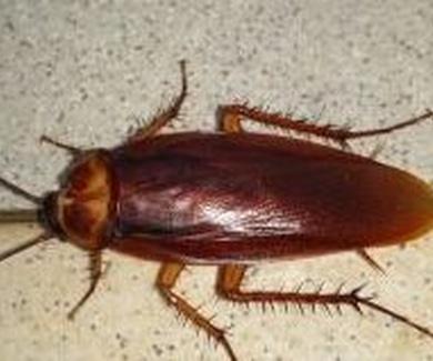 10 curiosidades en la eliminación de cucarachas