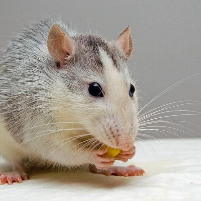 ¿Cómo contagian las ratas sus enfermedades?