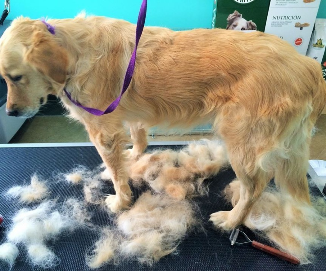Cómo cortar el pelo del perro según su raza