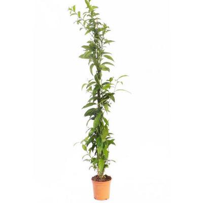 Arbusto exterior: Productos de Garden La Palma