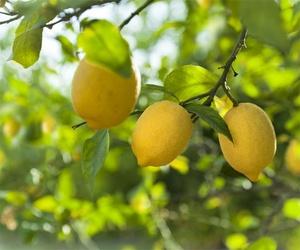 Empresa de exportación de limones en Guadassuar