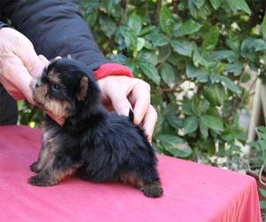 Cachorros de raza yorkshire en Paracuellos del Jarama