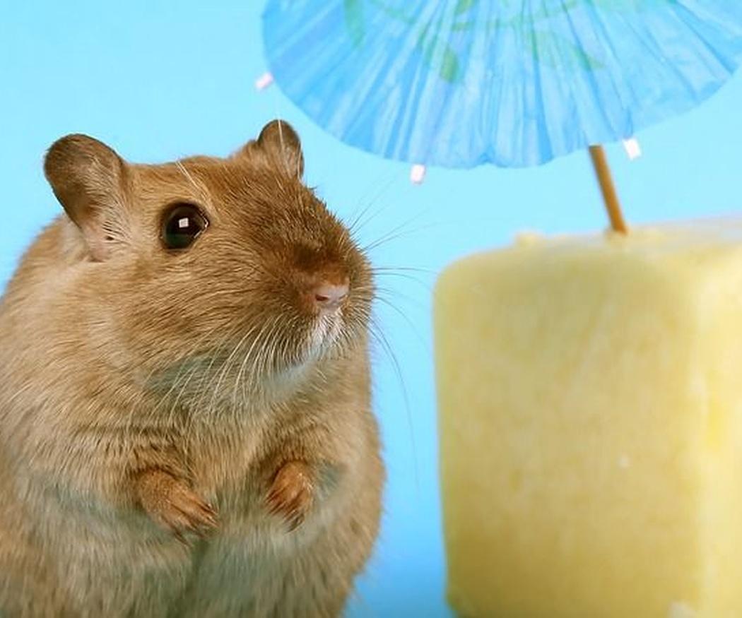 Los roedores como mascota
