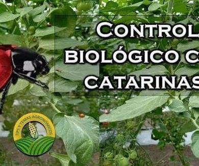 CULTIVO DE CATARINAS PARA EL CONTROL BIOLÓGICO DE PLAGAS