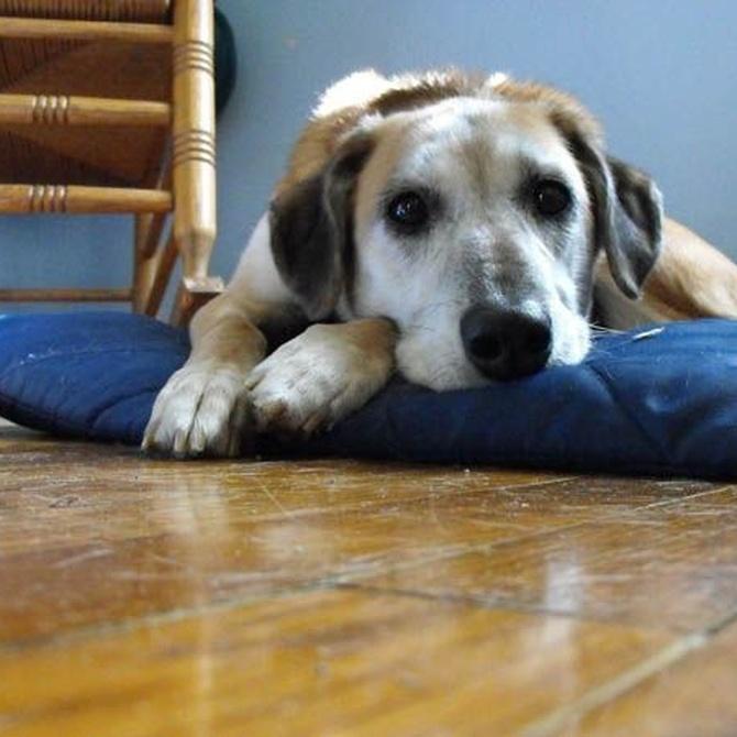 Principales patologías de perros atendidas en las urgencias veterinarias