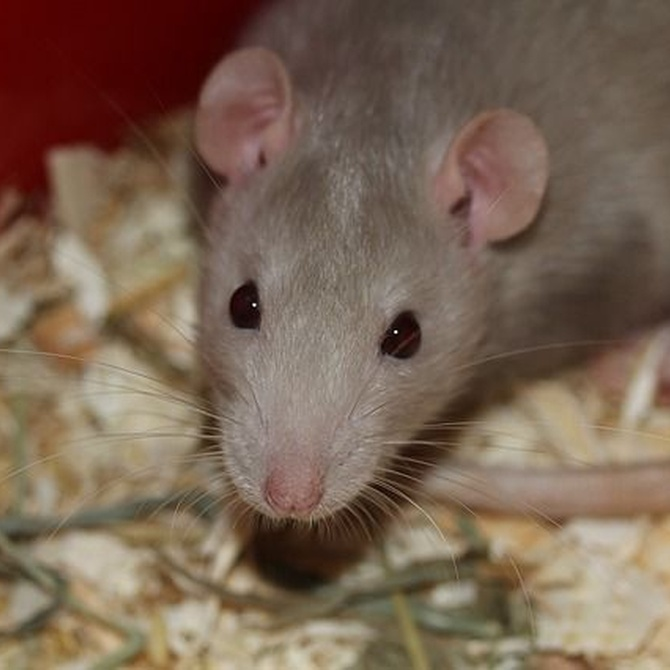 Motivos para la aparición de ratas y ratones en el hogar