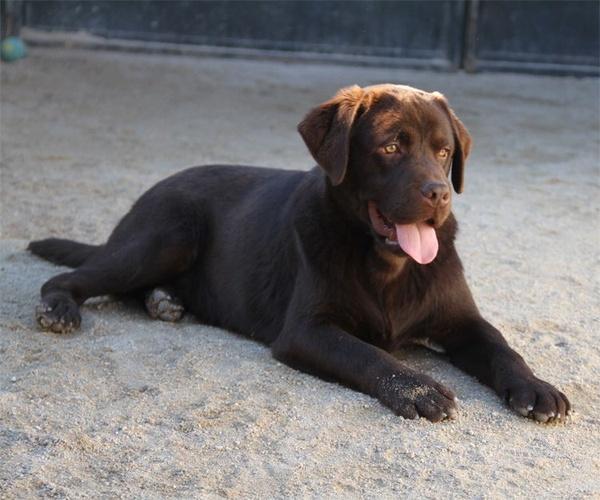 Labrador adulto con pedrigrí y campeón en Paracuellos del Jarama