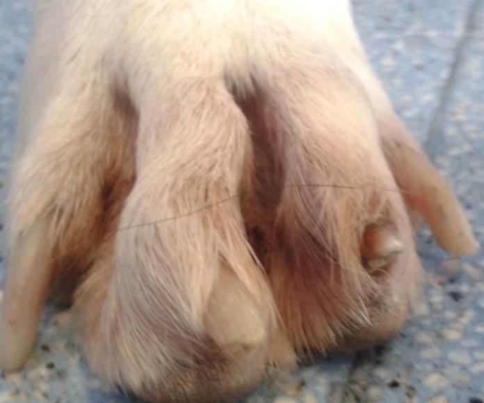Onicorrexis y onicosquisis en perro con Leishmania