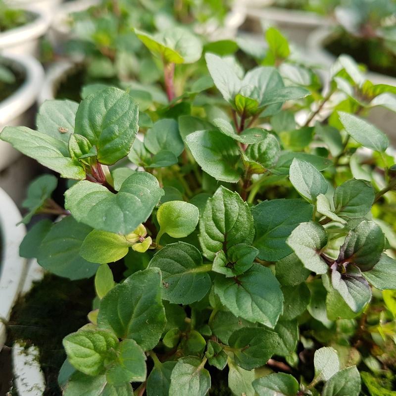 PLANTAS AROMÁTICAS Y CULINARIAS: Conoce nuestro vivero de Viveros Algeplant