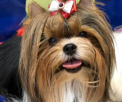 Cortar el pelo pelo a nuestros perros en verano