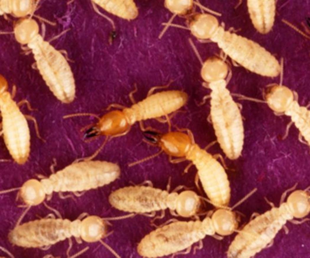 No se debe confundir termitas con carcomas