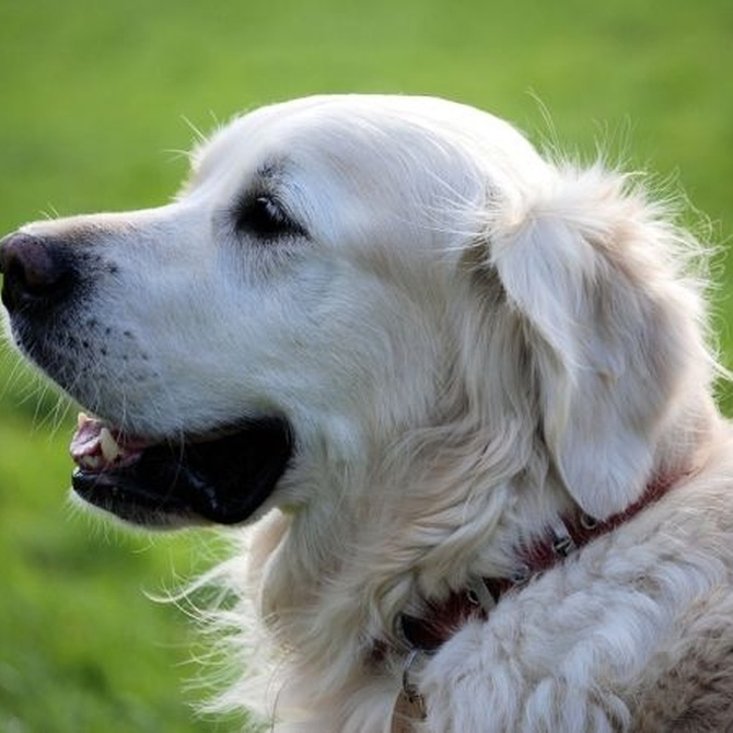 Ventajas del microchip para perros