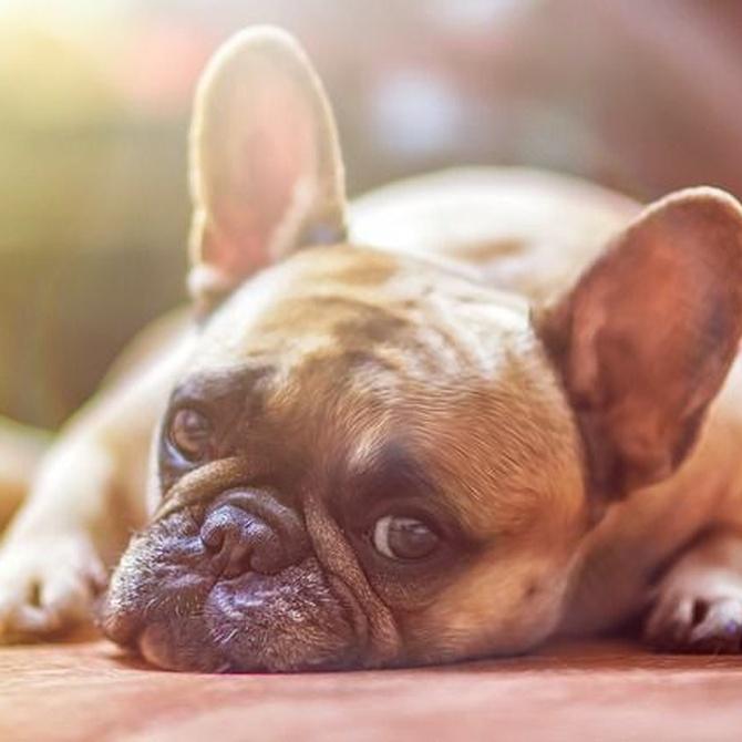 ¿Por qué te conviene ponerle el chip a tu perro?