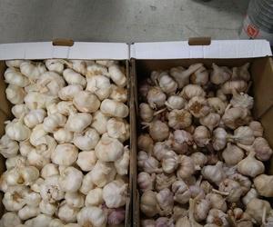 Ajos para la siembra en Gallarta