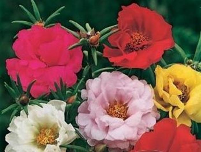 Portulaca grandiflora Ct. 0,54 L: Productos y servicios de El Abeto