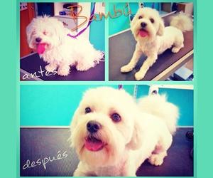 Narval Mascotas peluquería canina |Corte Cachorro Maltés