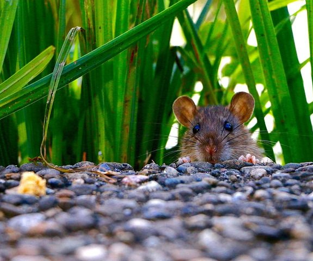 ¡Ten cuidado con las enfermedades que transmiten las ratas!