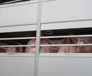 Transporte de porcinos