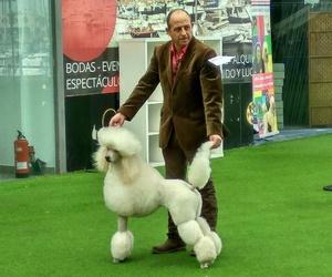 Corte canino comercial y exposición