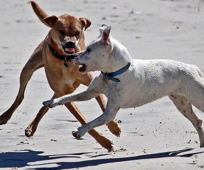 Certificados para licencias de Animales peligrosos Aranda de Duero