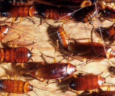 Este verano podría haber una 'invasión' de cucarachas