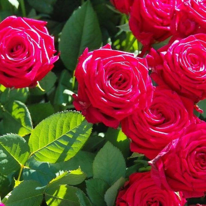 Consejos para la poda de rosales